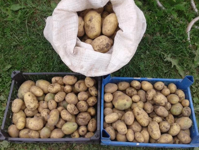 Картофель сорт гала