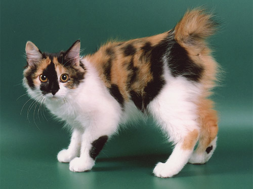Некрупная, мускулистая кошка с компактным сильным телом и четким...