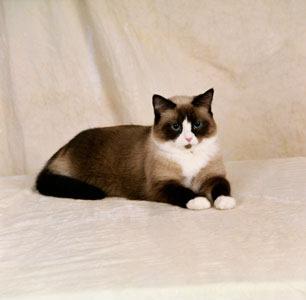 картинки кошки породистые