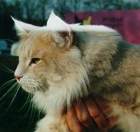 Норвежская лесная кошка увеличить