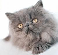 Персидская кошка пепельно голубой