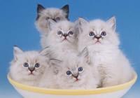 Кошечки на клео список пород