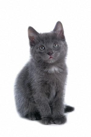 Русская голубая кошка увеличить