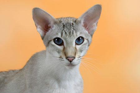 Сиамская кошка торти табби пойнт