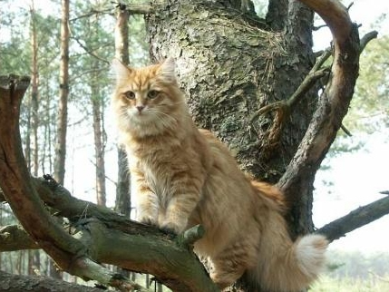 ...сибирских кошек.  Первые упоминания о сибирских котах в русской...