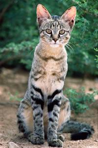 http://www.kleo.ru/encyclopedia/cat/wild/african_01.jpg