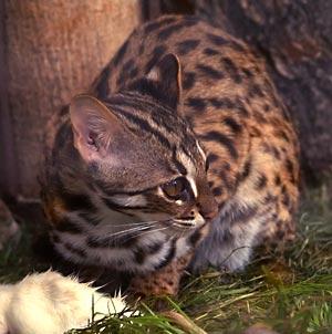 Бенгальская дикая кошка увеличить