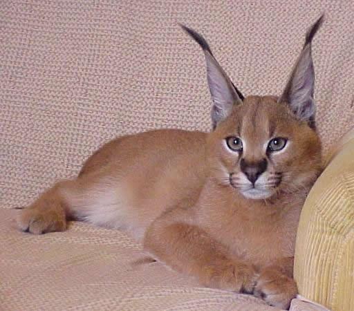 Кота породы каракал
