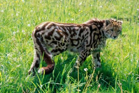 Гепард увеличить