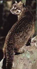 Ириомотская японская дикая кошка