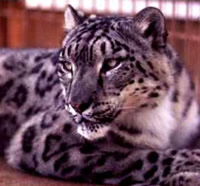 http://www.kleo.ru/encyclopedia/cat/wild/leopard_snow_01.jpg