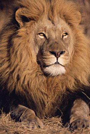 Лев увеличить