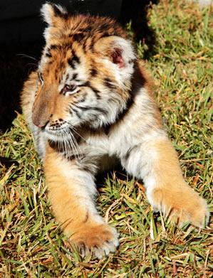 Картинки тигров: www.olpictures.ru/kartinki-tigrov.html