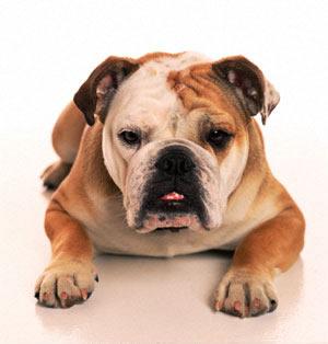 Американский бульдог American_bulldog_01