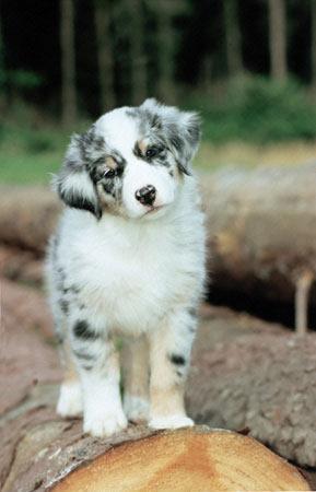 Австралийская овчарка Australian_shepherd_08