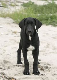 породы собак - Страница 4 Danish_broholmer_01m