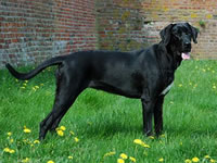 породы собак - Страница 4 Danish_broholmer_03m