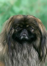 Пекинес в доме-это не просто собака, это-личность.