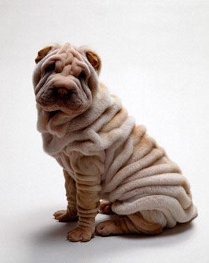 Возьмем щенка Шарпея до 3 месяцев.
