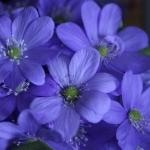 Анемон цветы цветок анемон где купить цветы заказ доставка...