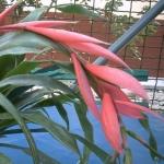Бильбергия великолепная Billbergia magnifica
