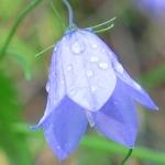 Колокольчик равнолистный Campanula isophylla Moretti.  Многолетнее травянистое растение с длинными тонкими...