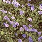 Семейство вьюнковых convolvulaceae
