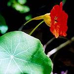 Семейство настурциевых tropaeolaceae