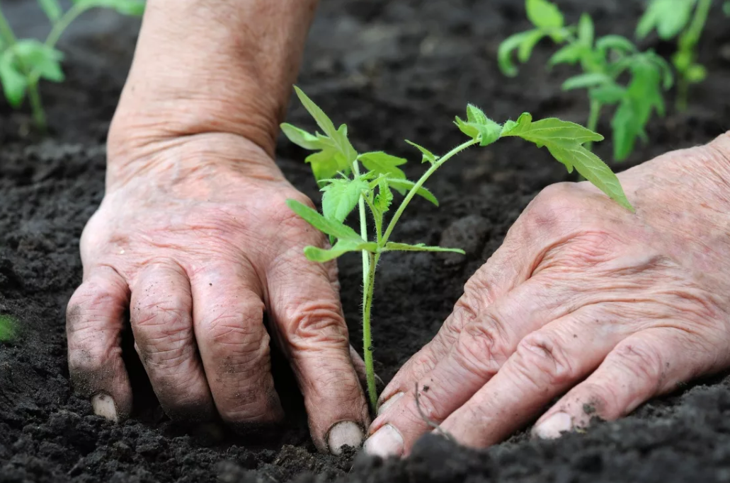 Как выращивать семена помидор в домашних условиях?