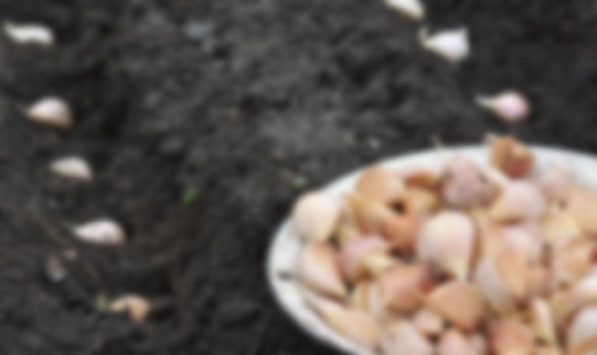 Как и когда сажать чеснок весной в открытый грунт