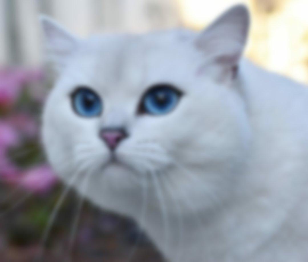 Порода голубоглазых кошек фото