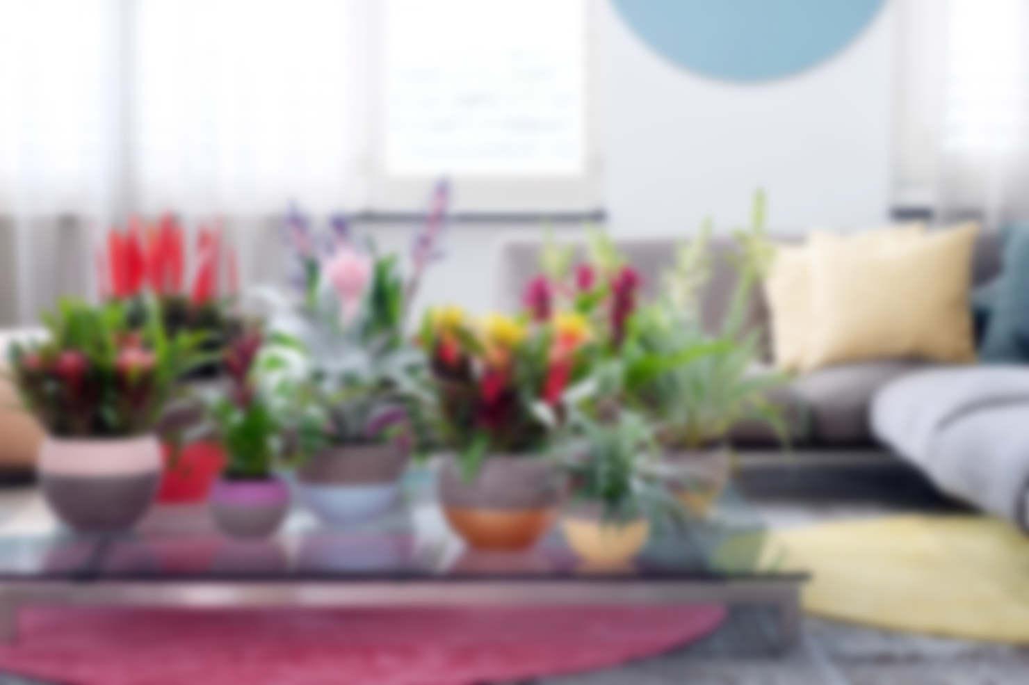 Комнатные цветы фен