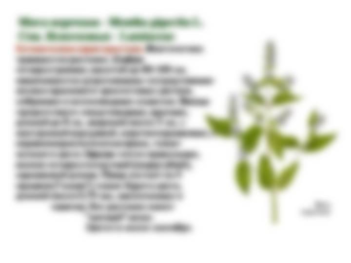 листья мяты перечной противопоказания
