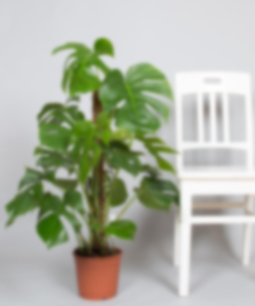 картинки монстеры комнатное растение путин