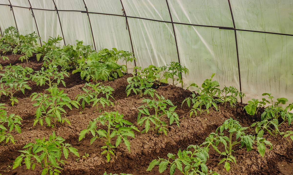 Когда сажать помидоры на рассаду в 2019 году по лунному календарю в марте 2019