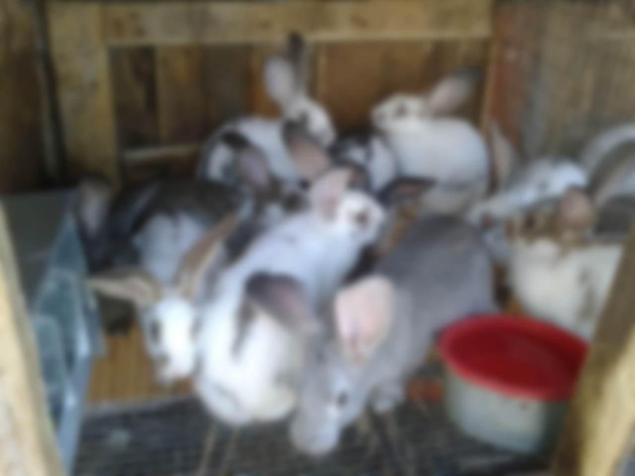 Кролики мясных пород описание фото уход и разведение