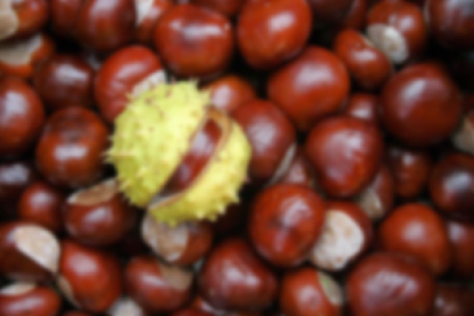 Как посадить каштановый орех