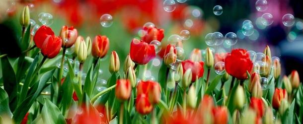 Посадка тюльпанов и крокусов осенью в грунт