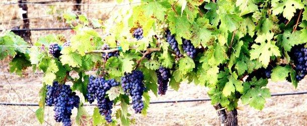 Правила обрезки винограда на зиму