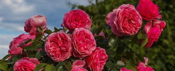 Обрезать или не обрезать розы на зиму