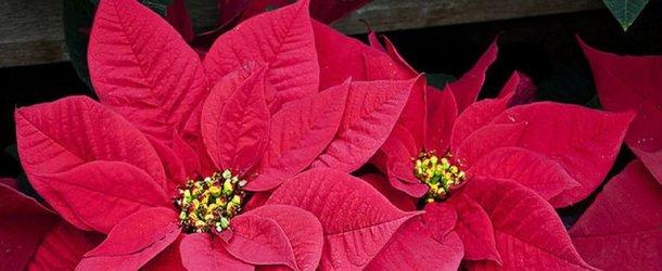 Пуансеттия цветок в доме: как ухаживать и разводить, пуансеттия красная как ухаживать в домашних условиях