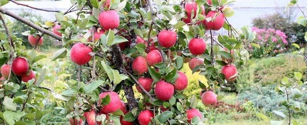 Посадка яблонь весной советы