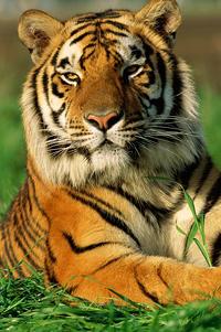женщина под знаком тигра