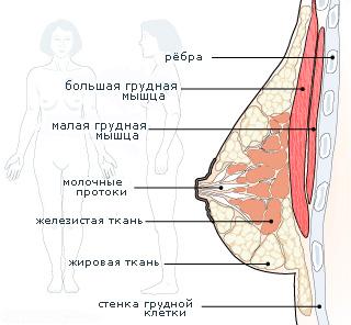 Якобы при разрезе перерезаются нервы, вследствие...  Под молочной железой лежит большая грудная мышца.